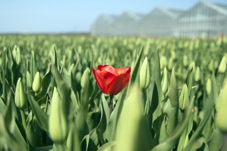 Single red tulip with blurred background photo