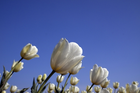 White tulips with a blue sky in the background photo