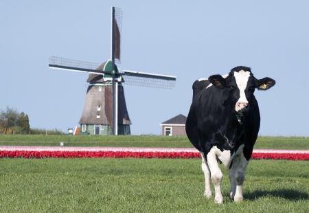 Cow tulips and windmill - Picture of a cow with tulips and windmill in the background photo