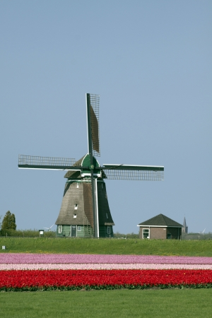 panoramics: Windmil and tulips -  Tulips and windmil in the spring Stock Photo