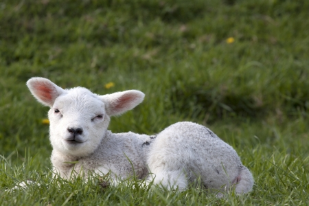 Lamb smiling at the photographer photo