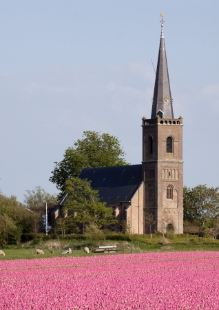 Pink tulips - Pink tulip field with church in the background photo