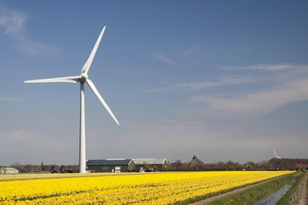 Yellow daffodils in the sun - Dutch daffodils field with a big windmill photo