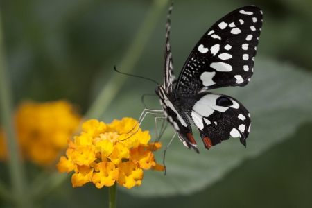 giant sunflower: Beautiful Black and white tropical butterfly Lemon butterfly - Papilio demoleus