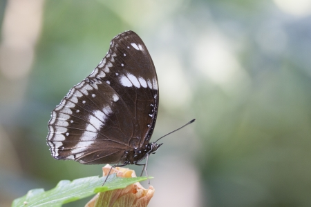 giant sunflower: Brown butterfly insect