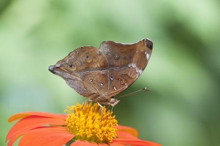 macrophoto: Brown butterfly macrophoto Stock Photo