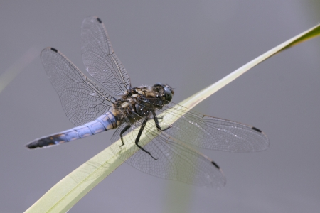 libel: Blue insect on a leaf