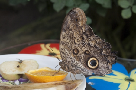 Beautiful butterfly eats an orange photo