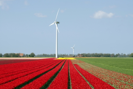 flevoland: Dutch field of tulips with windmills behind it Stock Photo