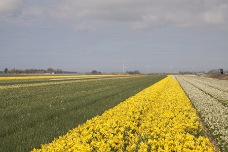 Different types of daffodils in the dutch spring. photo