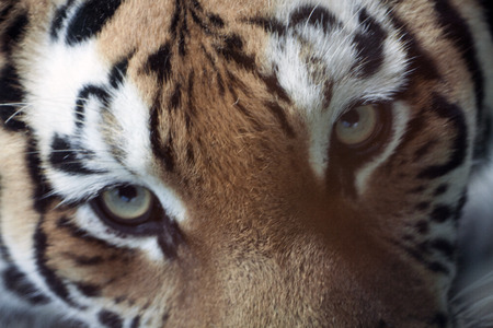 Beautiful photo of blurred image from the eyes of a tiger. photo