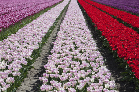 wide angle lens: Abstract photo taken with a wide angle lens or colored tulips. Stock Photo