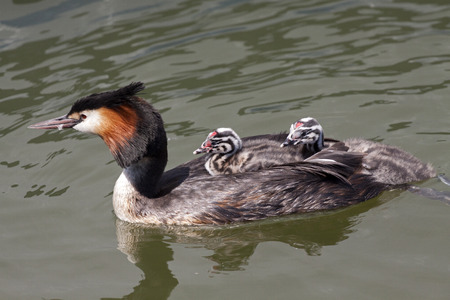 swimming bird: Grebe mother bird with young swimming in the water