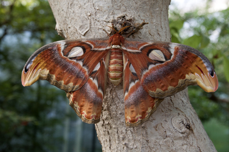 atlas: Big Atlas butterfly. Stock Photo