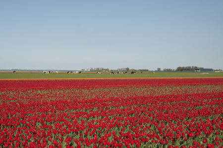 cows red barn: Typical springtime scene in Holland with colorful red tulip fields and cows. Stock Photo