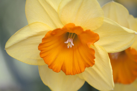 narcissist: Close up photo of a yellow daffodil flower