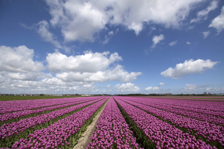 nature picture: Purple tulip flowers in a row on a sunny day and blue sky. Nature picture