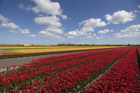 nature picture: Red and yellow tulip flowers in the spring. Nature picture Stock Photo