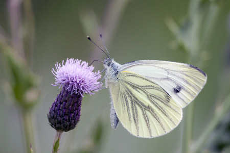 European Large Cabbage White butterfly (Pieris brassicae) feeding on a thistle flower.