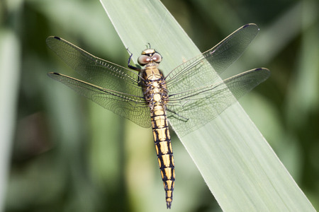 Close up photo of yellow dragonfly insect (Orthetrum cancellatum) Stock Photo