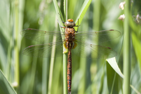 Macro photo of a dragonfly insect dragon fly Stock Photo
