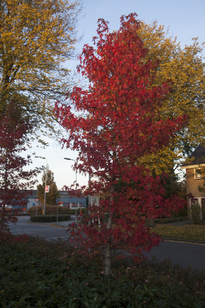 Tree with beautiful drak red colored leaves in autumn Stock Photo