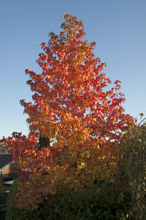 Beautiful red color of autumn leaves on a tree on a blue ski