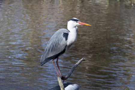 gray herons: Great Blue Heron sitting by the Lake Stock Photo