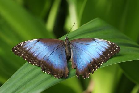 Big Blue Morpho butterfly menelaus Stock Photo