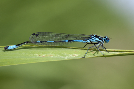 Save Download Preview blue dragonfly insect closeup macro on green background. Photo taken with 90 mm macrolens. Imagens