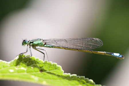 background: Blue dragonfly insect closeup macro on green background. Photo taken with 90 mm macrolens.