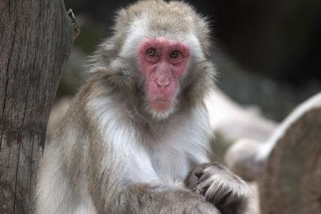 sylvanus: Berber monkey (Macaca sylvanus)