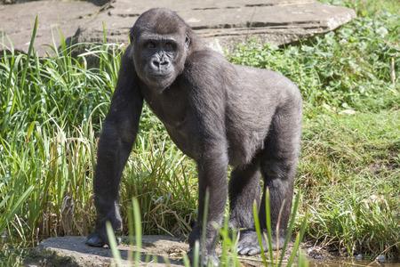 Big Gorilla in the zoo