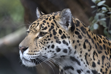 Beautiful headshot of a jaguar