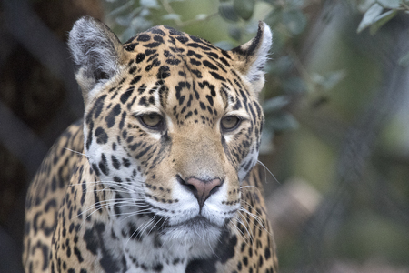 Headshot of a jaguar with beautiful white whiskers and beautiful camouflage colors