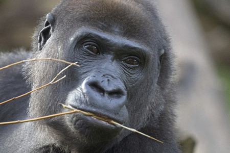 Portrait of a lowland gorilla with a twig in its mouth