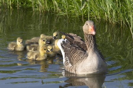 Watchful single mother goose is followed by fifteen young goslings with a reflection in the water Stock Photo
