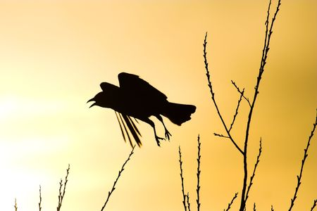 Scared crow flying silhouette Stock Photo