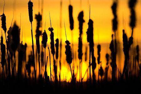 Wild grass silhouette against the sky Stock Photo