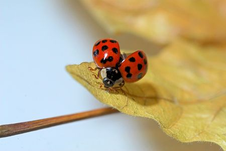 Ladybug on a leaf with its wings open