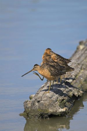 A group of dowitchers relaxing on a log in the water