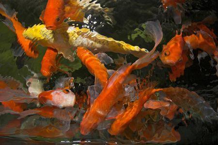 Japanese koi underwater shot photo