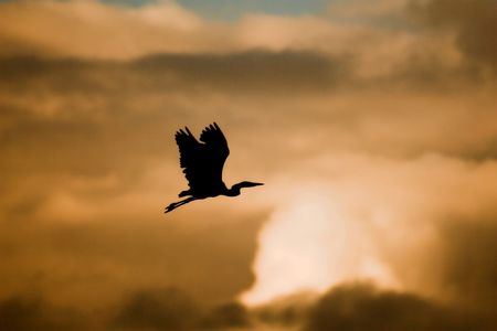 Flying heron silhouette photo