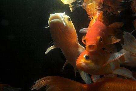 koi: Japanese koi underwater shot Stock Photo