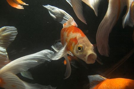Japanese koi underwater shot photo