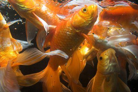 animals feeding: Japanese koi underwater shot Stock Photo