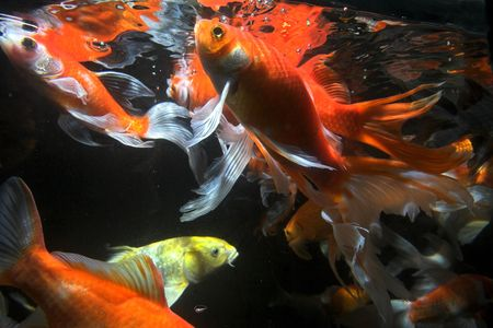 Japanese koi underwater shot Stock Photo