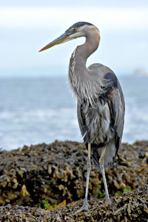 Great Blue Heron standing on the rocks photo