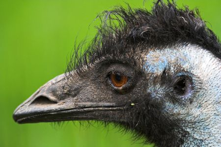 bad hair day: Emu bad hair day Stock Photo