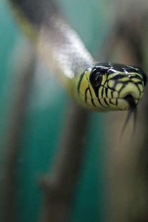 Tiger rat snake with its tongue out